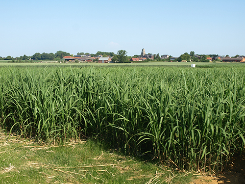 miscanthus champ village