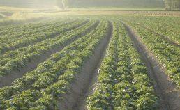 Modélisation de la croissance de la pomme de terre (2016-2021)