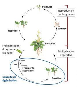 cycle développement rumex