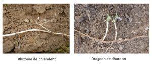 Drageon de chardon et rhizome de chiendent