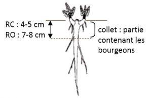 schema collet rumex