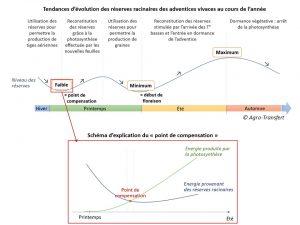 Schema Evolution des reserves racinaires des vivaces