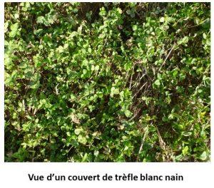 Vue d'un couvert de trefle blanc nain