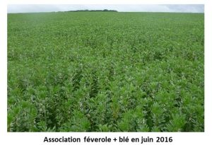 Photo de l'association feverole - cereale